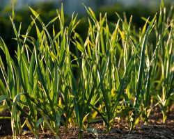 Выращиваем специи. Как бороться с пожелтением листьев чеснока
