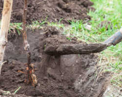 Нюансы посадки саженцев: о чем иногда забывают садоводы