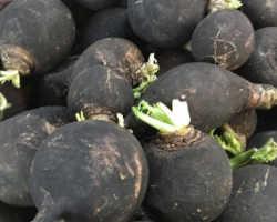 Самое полезное: черная редька в огороде и как ее сберечь в зимнее время года