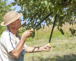 Обрезка плодовых деревьев летом — как не навредить