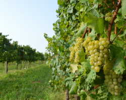 Агроволокно для укрытия винограда и защита кустов от холода