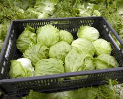 5 овощных зеленных растений, дающих ранний витаминный урожай