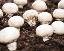 Советы по выращиванию высококлассных шампиньонов в условиях дачи или частного дома