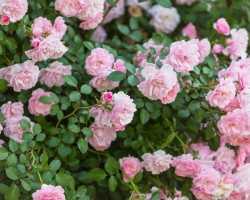 Плетистая роза: посадка и уход