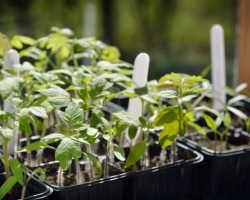Рассада томатов в домашних условиях – как выращивать вкусные помидоры дома?