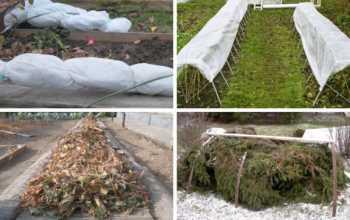 Подготовка ежемалины и ежевики к зиме: как правильно укрывать кусты