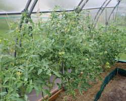 Что выращивают по соседству с томатами в открытом грунте и теплице