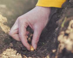 Посадка лука весной – секреты опытных огородников