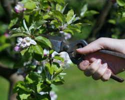 Формировка кроны яблони и как это влияет на урожай