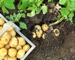 Секреты раннего урожая картофеля