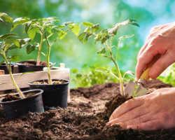 Как правильно поливать помидоры — урожай в засуху