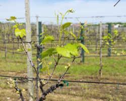 Опоры для винограда, изготовленные самостоятельно