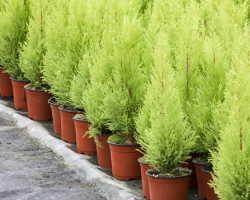 Как выбрать удобрение для хвойных растений