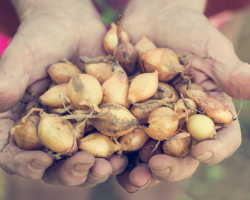 Каким образом и для чего нужно обрабатывать лук в содовом растворе перед посадкой