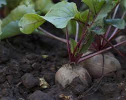 Посадка свеклы весной – секреты большого урожая