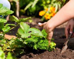 Простое предприятие: выращиваем лесную землянику у себя под окнами