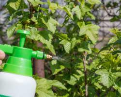 Обработка смородины содой весной: зачем и как это делается