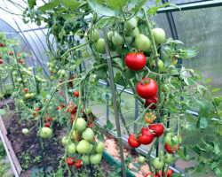 Топ-7 пушистых томатов для теплицы и открытого грунта