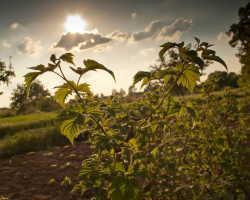 Самые распространенные болезни малины: способы борьбы и меры профилактики