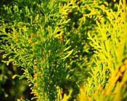 Живая изгородь из туи, или Как оформить вечнозеленый сад