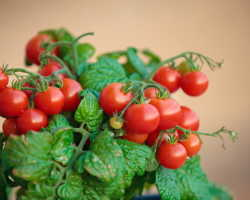 Ампельные помидоры — культивирование в подвесных кашпо