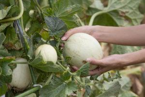 Выращивание дыни: советы и рекомендации