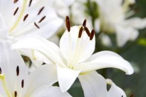 Посадка и уход за луковичными растениями