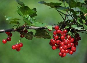 Выращивание смородины: советы и рекомендации