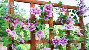 Как выращивать клематисы