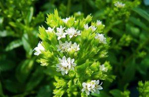 Медовая трава - стевия: выращивание рассады