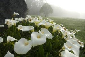 Правильная посадка каллы: уход, выращивание в открытом грунте