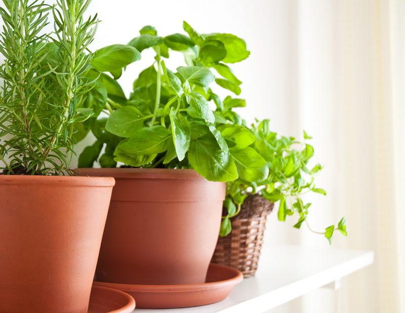 Как посадить и вырастить базилик