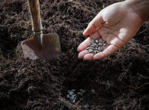 Посев огородных культур осенью