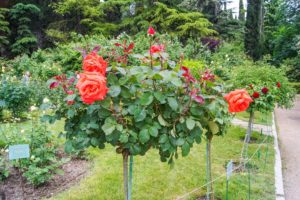 Уход за чайно-гибридными розами