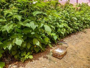 Выращивание малины шпалерным способом