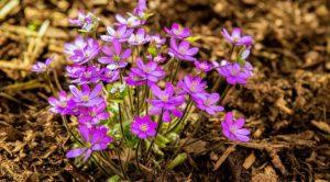 Выращивание и уход за печеночницей