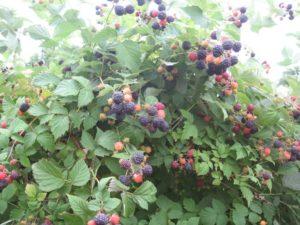 Черноплодная малина кумберленд: советы по выращиванию
