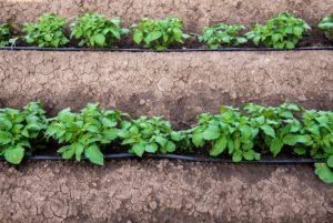 Картофель: проращивание семян