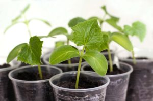 Огурцы на подоконнике: выращивание