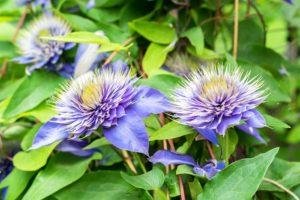 Как посадить клематис осенью