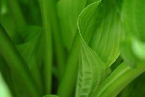 Хоста: лучшее растение для тенистых мест