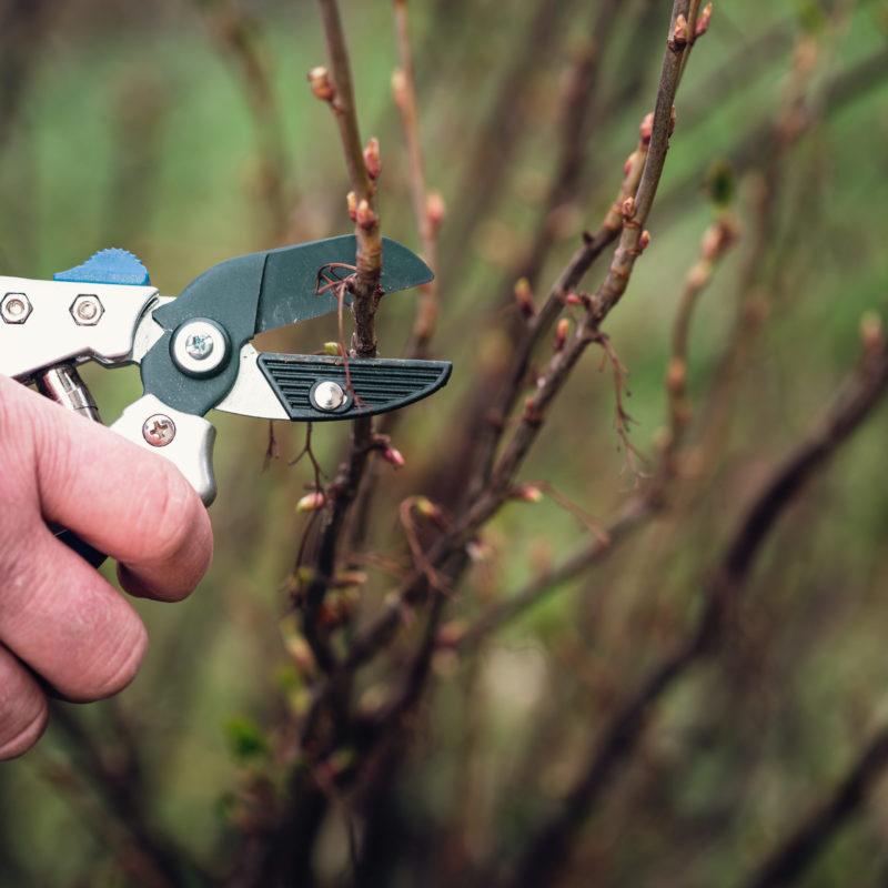 Смородину нужно постоянно омолаживать – и большой урожай вам обеспечен