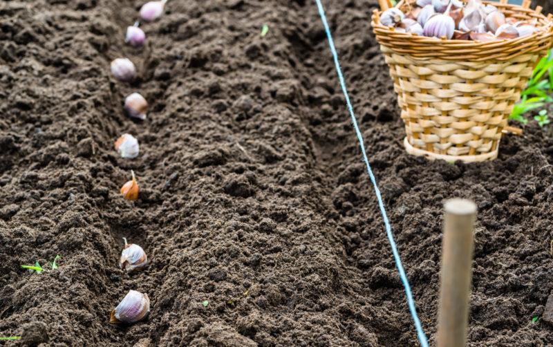Посадка ярового и озимого чеснока весной - секреты огородников