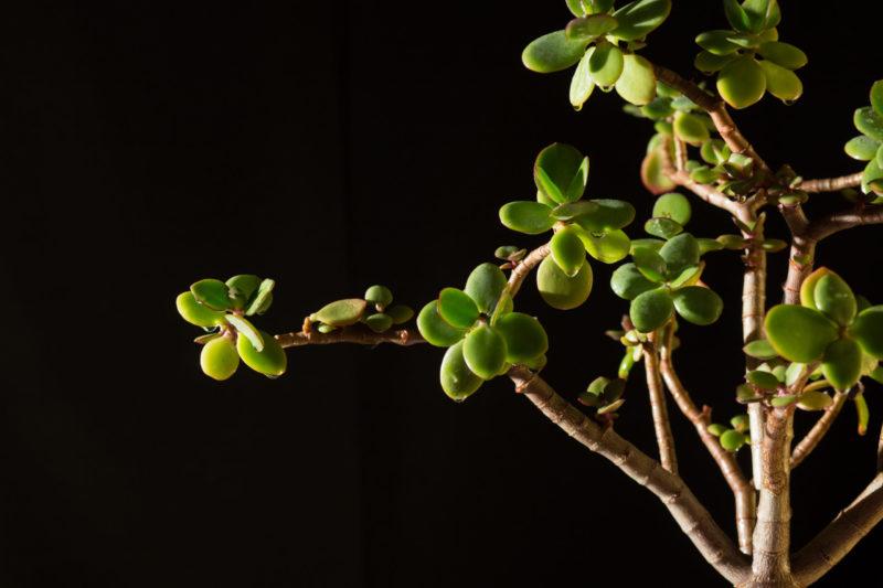 Толстянка (денежное дерево) в доме: о чём предупреждают приметы