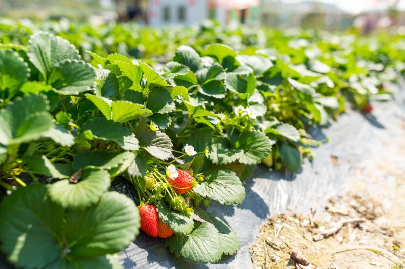 Как правильно посадить клубнику – 4 способа посадки