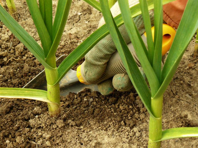Чем подкормить чеснок в мае, чтобы не желтел