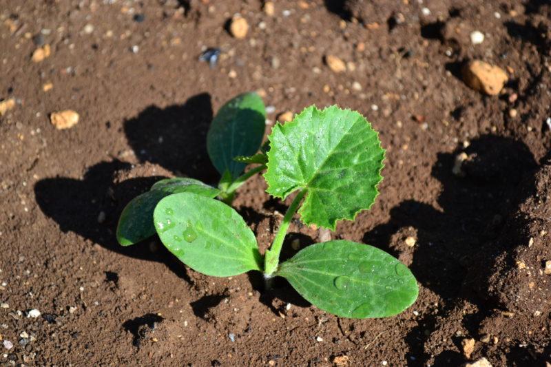Как правильно сажать кабачки – секреты быстрого урожая