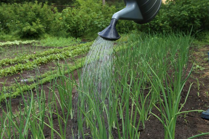 Как получить большой урожай лука: 4 простых совета