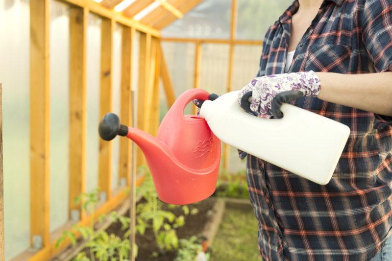 Как не допустить образования на огородном участке вершинной гнили томатов