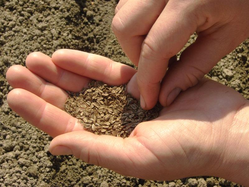 Метод выращивания сочного укропа без зонтика